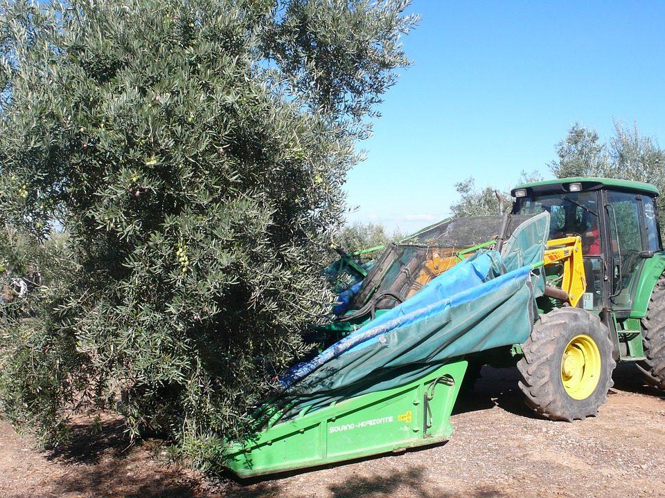 olive-332665_1280
